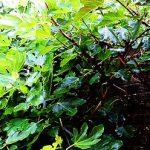 Rain on Fig Leaves