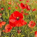 Poppy Field Relaxation
